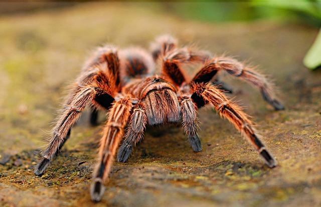 Сонник белый мохнатый паук