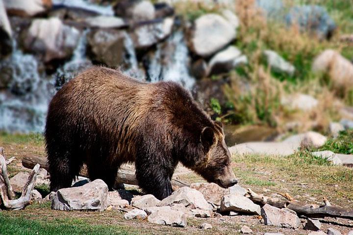 Сонник приснился медведь бурый