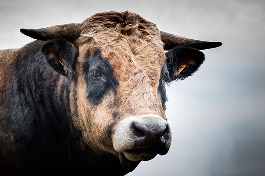 К чему снится бык с рогами, который нападает на вас? || Что означает черный бык бодается сонник