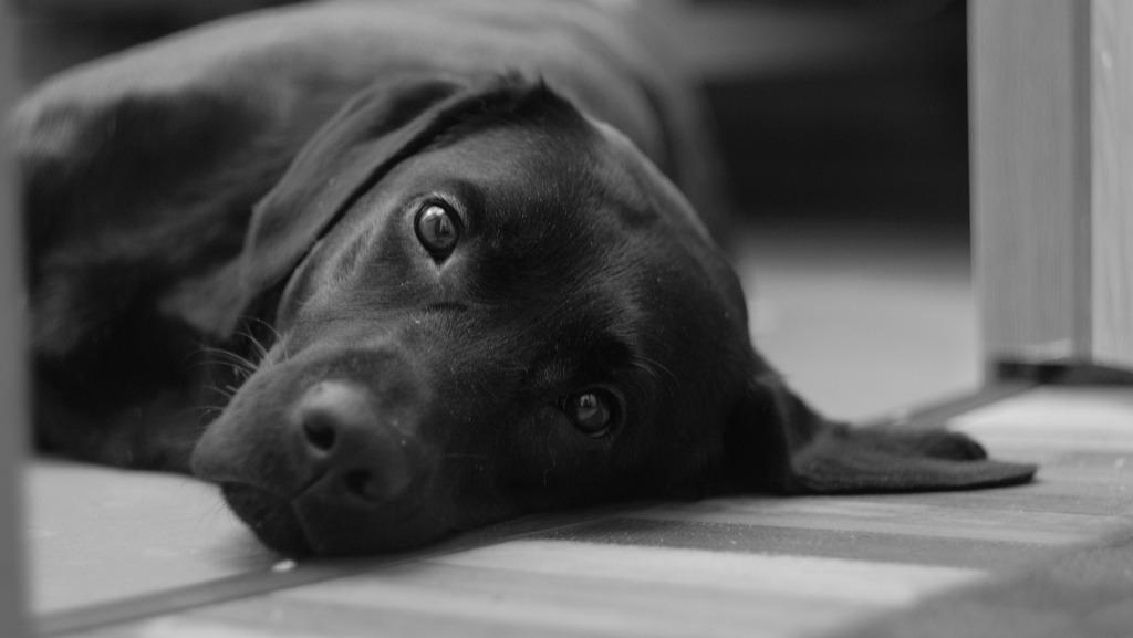 Сонник толкование собака большая черная