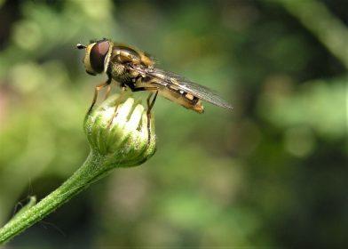 К чему снятся мухи, много мух, которые не дают покоя, увязли в меду, преследуют, роятся вокруг, садятся на вас