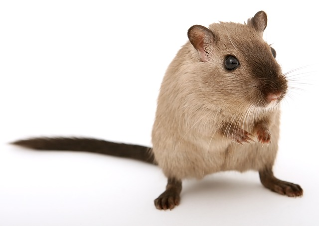 К чему снятся белые крысы много