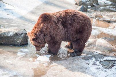 К чему снится мужчине медведь: женатому, неженатому – толкование по разным сонникам