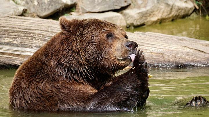 К чему снятся медвежата женщине