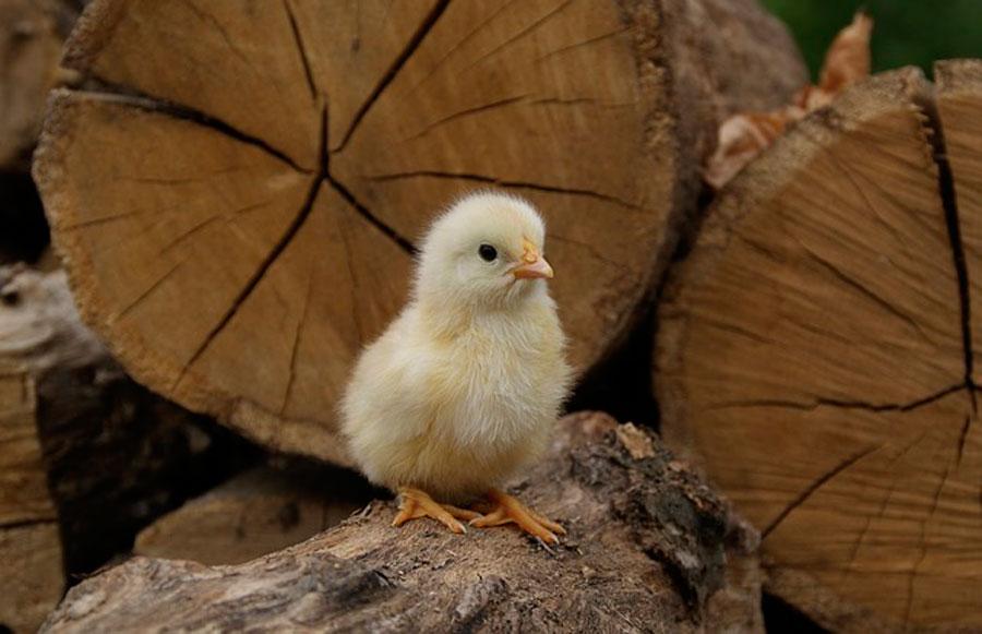 К чему снятся цыплята: маленькие и много, видеть желтых, женщине, что означают мертвые, вылупление из яйца, кормить, утята