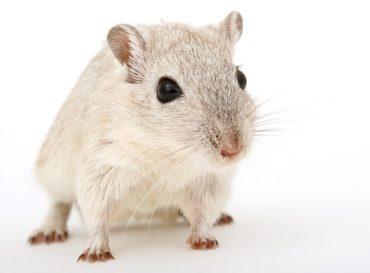 К чему видеть во сне живую крысу женщине, мужчине и молодым людям, убивать и травить ее