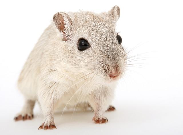 Сонник толкование снов крыса живая