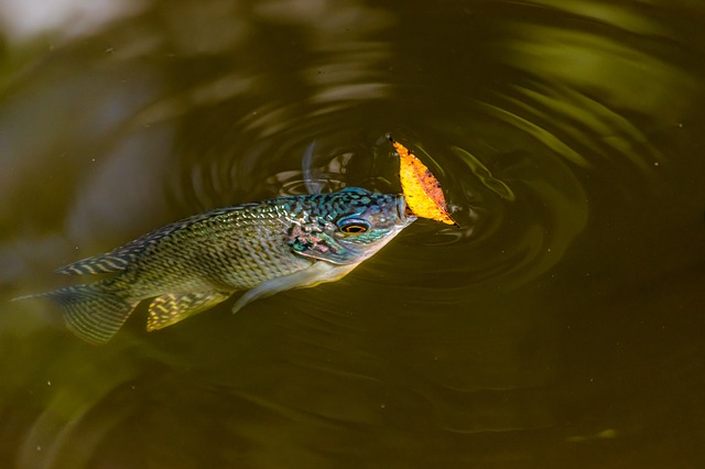Сонник большие рыбы в воде плавают
