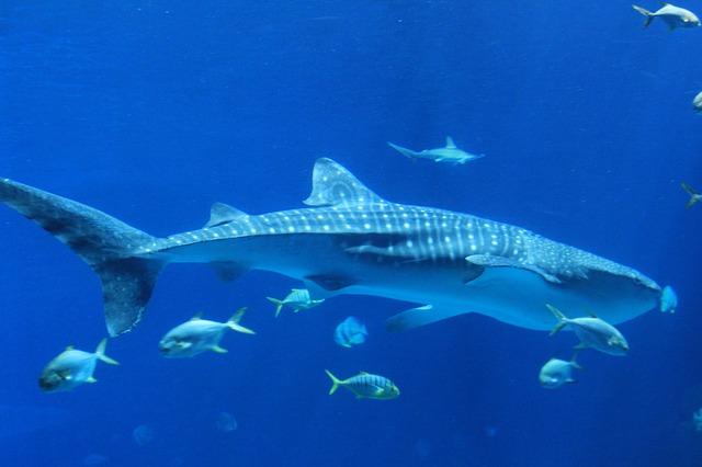 К чему снится акула? Сонник: акула в воде