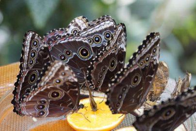 Бабочка по соннику
