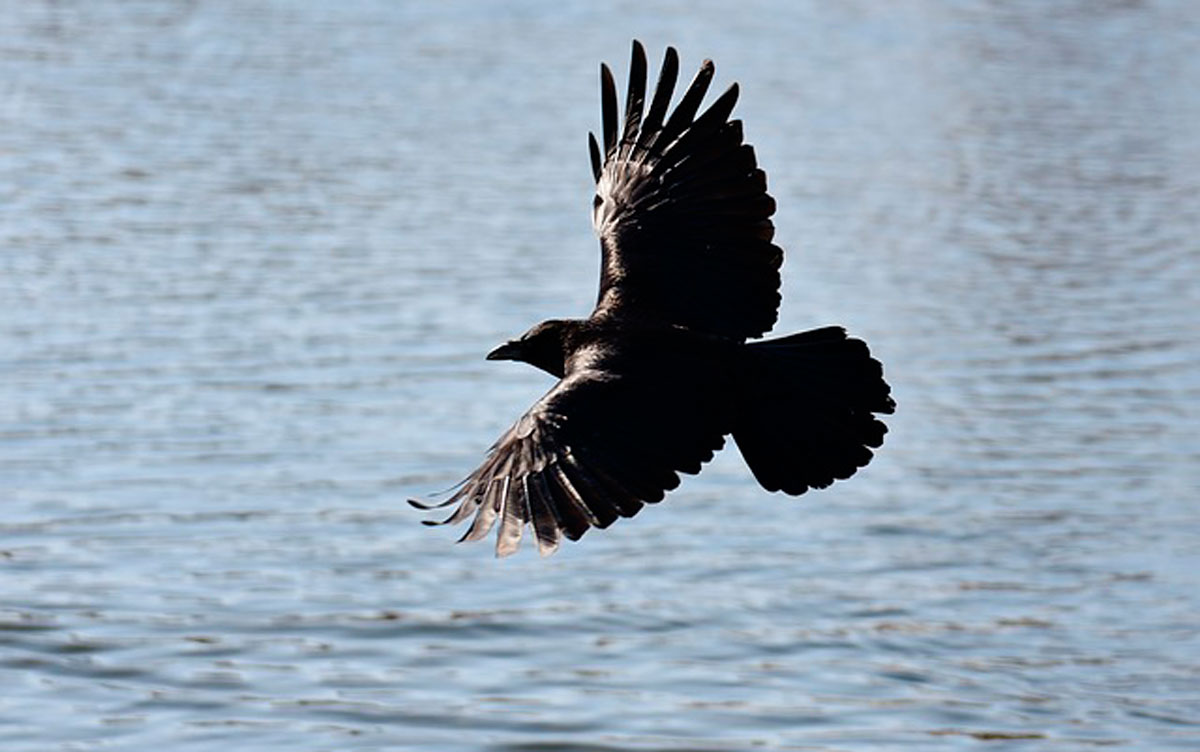 Чтобы узнать, к чему снится ворона, стоит вспомнить все, даже самые мелкие подробности сна и обратиться к соннику.