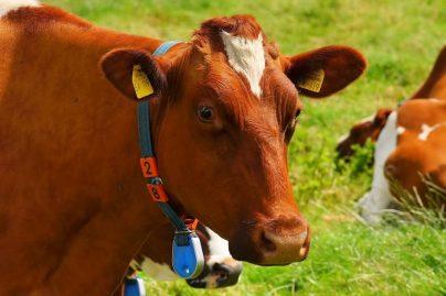 К чему снится корова во сне женщине: замужней, незамужней, девушке, беременной – толкование по сонникам