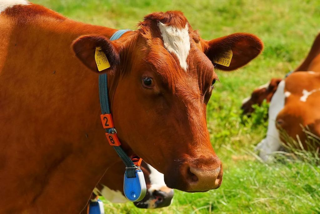 К чему снятся коровы женщине сонник миллера
