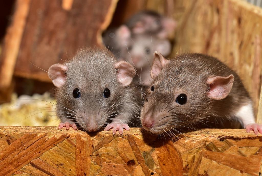 Видеть во сне много мышей к чему к чему это