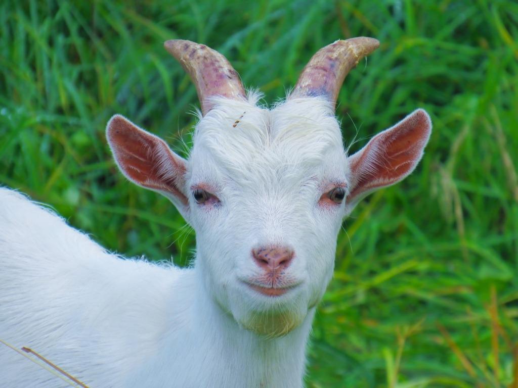 Сонник 🌛 козел белый приснился: к чему снится козел белый во сне