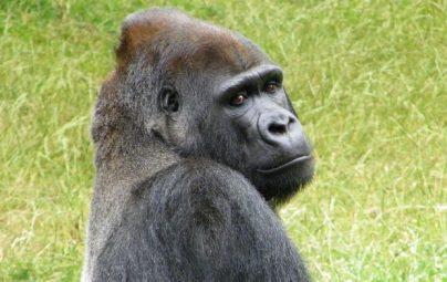 К чему снится горилла: женщине, девушке, беременной, мужчине – толкование по разным сонникам