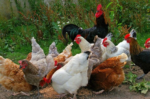 К чему снятся курицы и петухи живые сонник