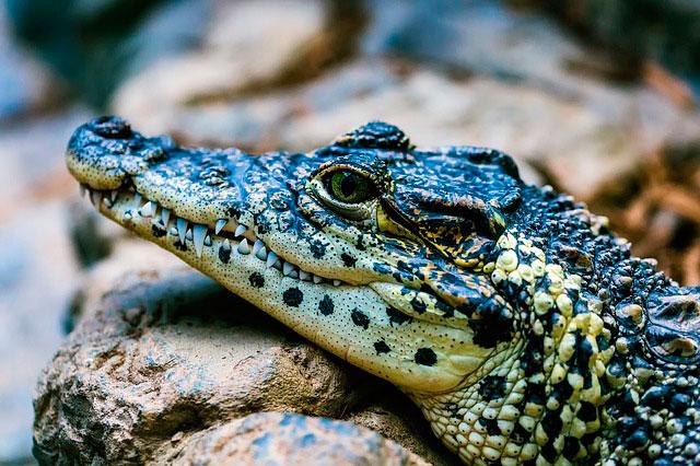 Сонник крокодилы в воде маленькие