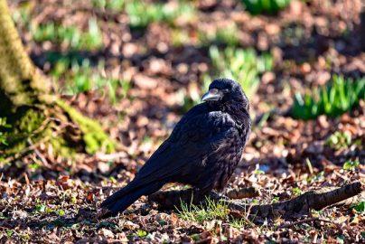 К чему снится мертвая ворона: замужней женщине, девушке, беременной, мужчине – толкование по разным сонникам