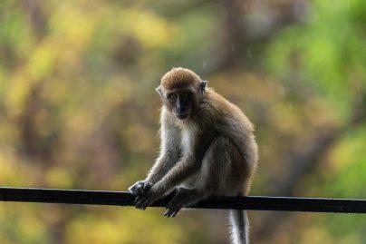 К чему снится обезьяна женщине: замужней, незамужней, девушке, беременной – толкование по сонникам