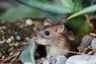 Мыши во сне к чему снятся много