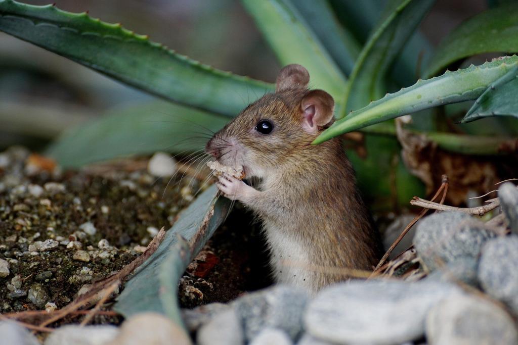 К чему снятся маленькие мыши толкование разными сонниками