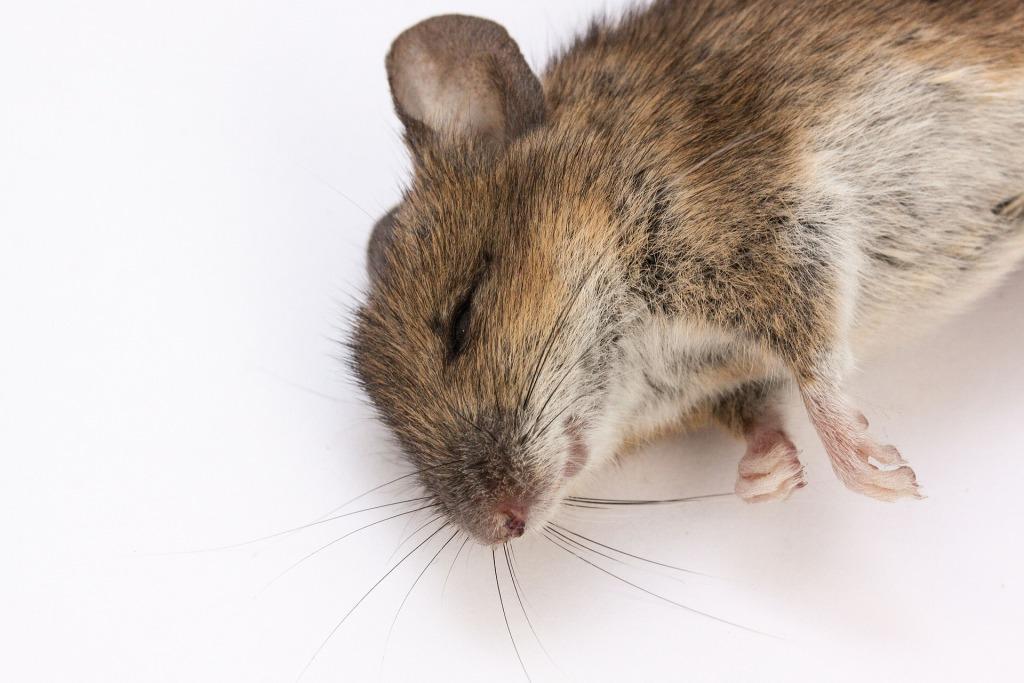 Во сне видеть белую мышь мертвую thumbnail