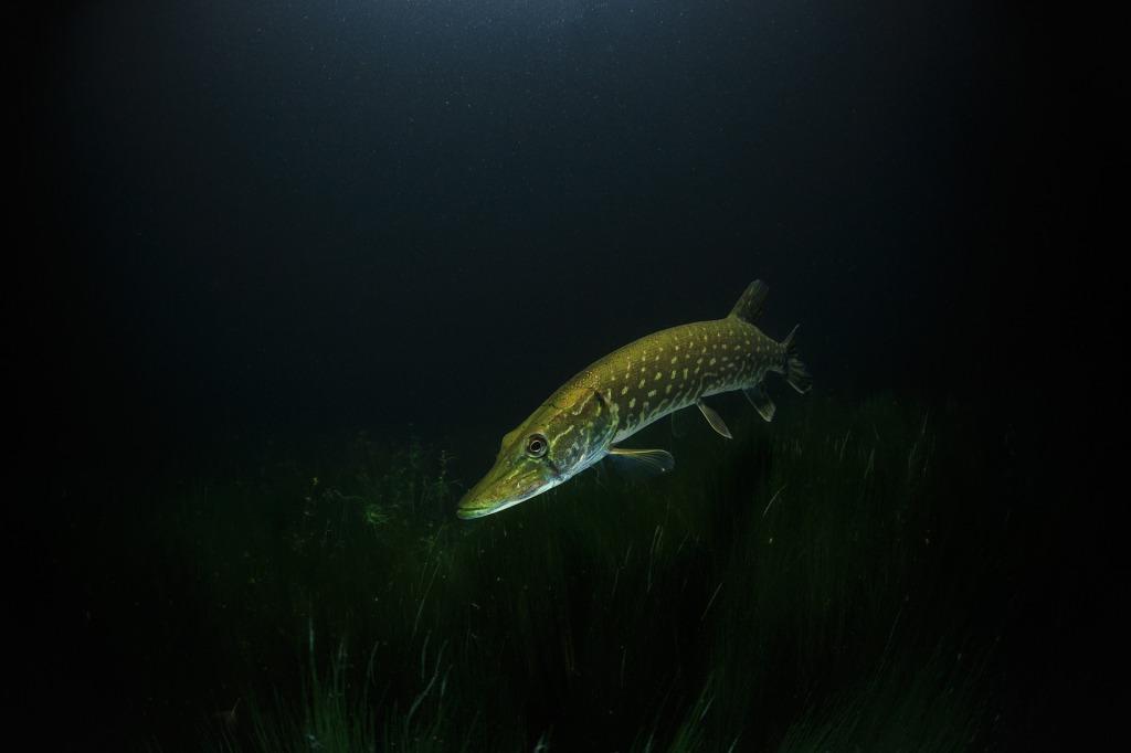 Сонник щука большая в воде