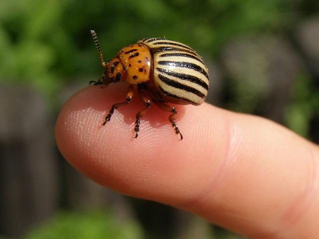 Сонник к чему снятся колорадские жуки
