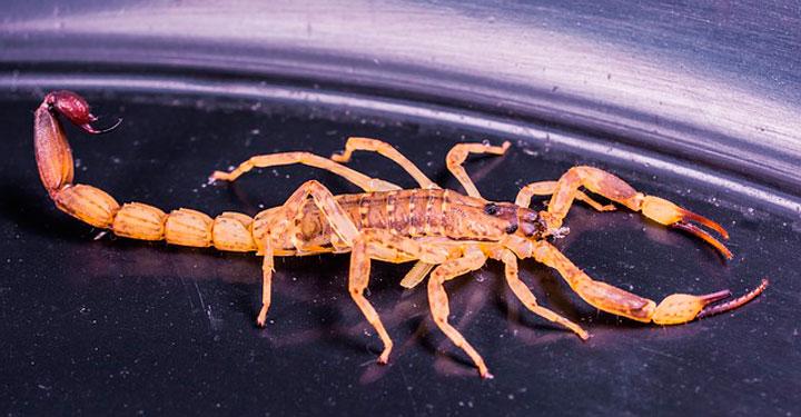 К чему снится скорпион сонник