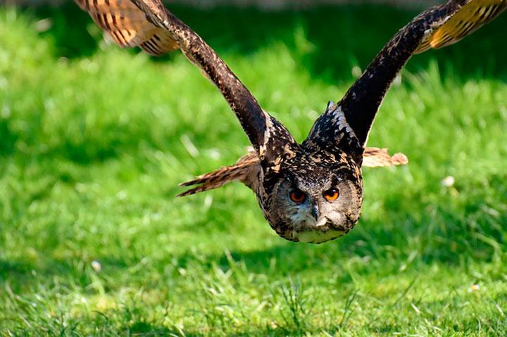 К чему снится сова: сонник сова во сне