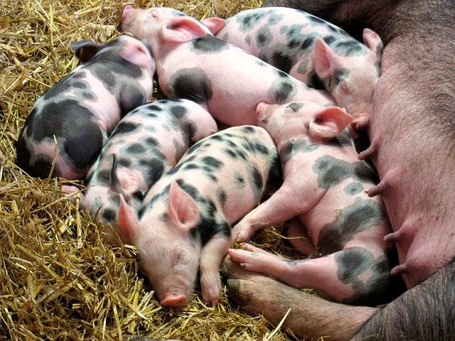Сонник свинья с поросятами к чему снится свинья с поросятами во сне