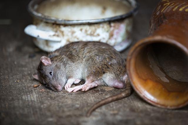 Крыса сонник! К чему снится крыса мужчине, во сне