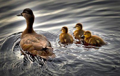 К чему снится утка с утятами: девушкам, женщинам, беременным, мужчинам – толкование по разным сонникам