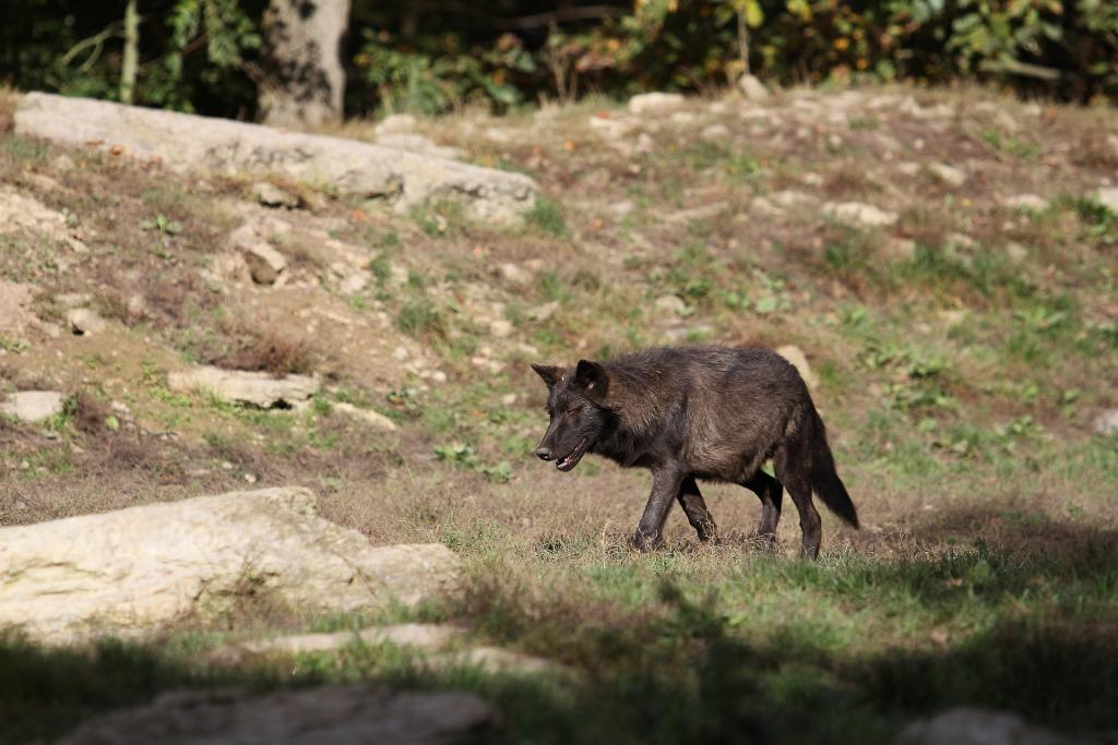 Сонник к чему снится черный волк