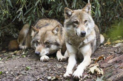К чему снятся волки во сне для женщины: замужней, незамужней, девушке, беременной – толкование по сонникам