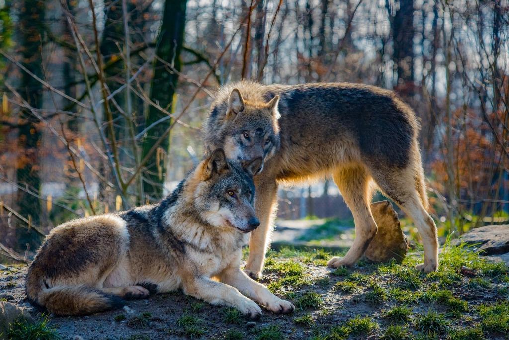 К чему снятся волки: толкование по сонникам