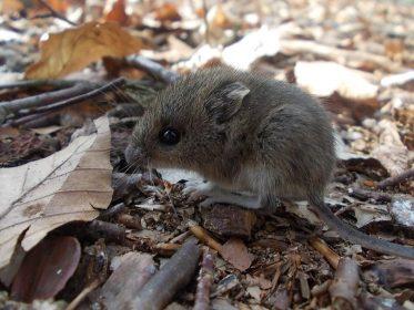 К чему снится маленькая мышка: женщине, девушке, беременной, мужчине – толкование по сонникам