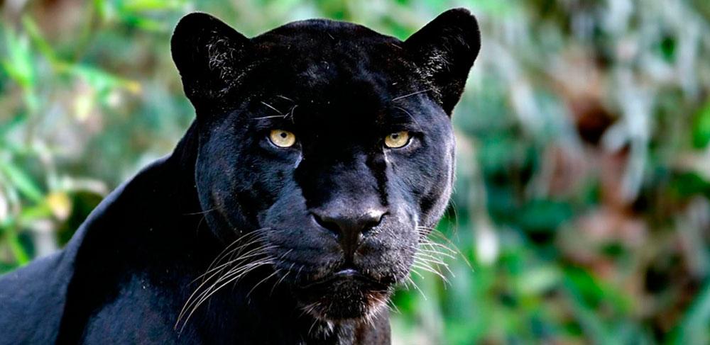 Сонник черная пантера в доме