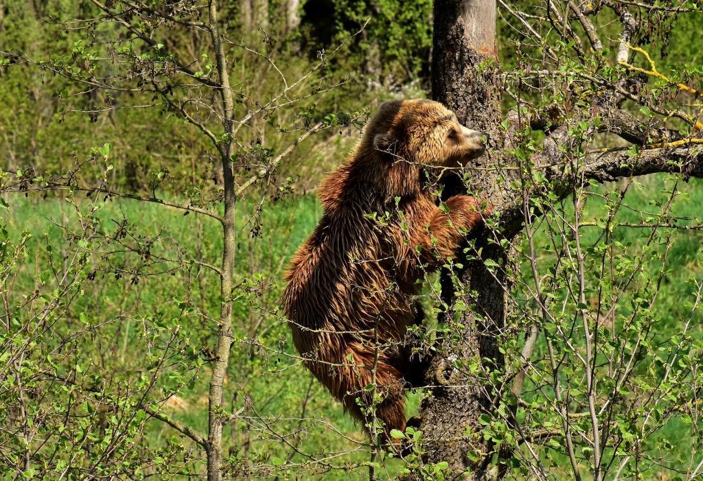 Сонник медвежата бурые маленькие