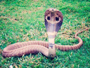 К чему снится кобра: девушке, женщине, беременной, мужчине – толкование по разным сонникам