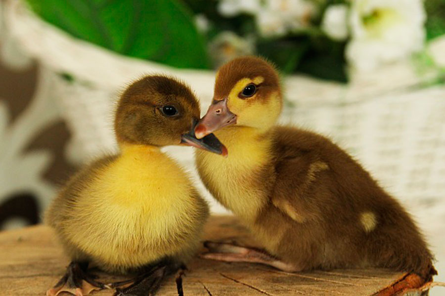 Сонник цыплята маленькие желтые и утята