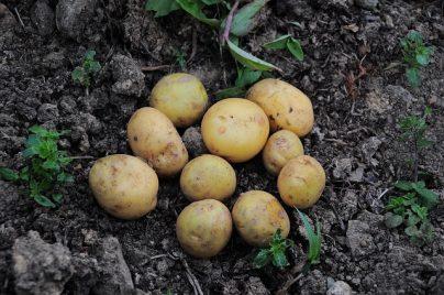 К чему снится сажать картошку: девушке, женщине, беременной, мужчине – толкование по разным сонникам