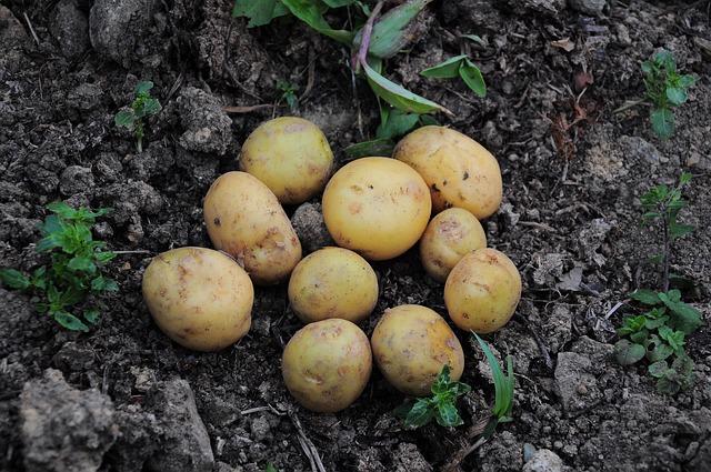 Сонник сажать картошку в землю