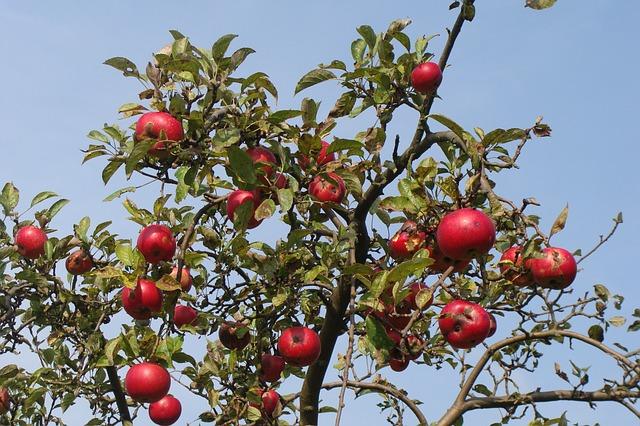 Сонник яблоки на дереве к чему снится  яблоки на дереве во сне